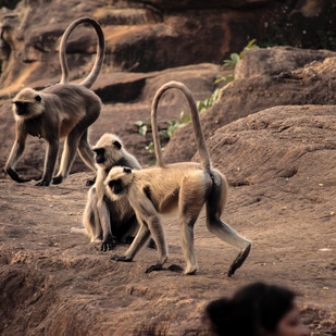 Monkeys by Prapti Mittal, Image Photograph, Digital Print on Paper, Brown color