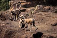 Monkeys by Prapti Mittal, Image Photograph, Digital Print on Paper, Brown color