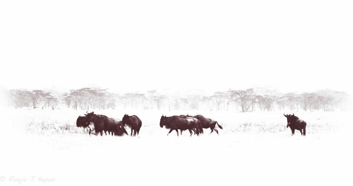 Wildebeest in Migration by Runjiv J. Kapur, Image Photograph, Digital Print on Canvas, White color