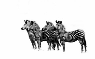 Zebras On The Lookout by Runjiv J. Kapur, Image Photograph, Digital Print on Canvas, White color