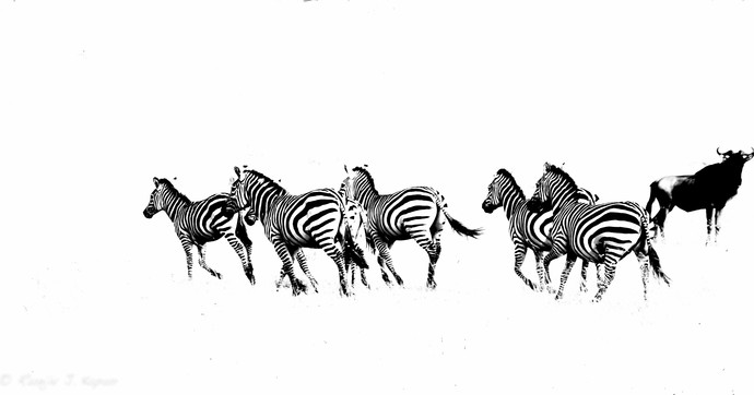 Zebras On The Run by Runjiv J. Kapur, Image Photograph, Digital Print on Canvas, White color