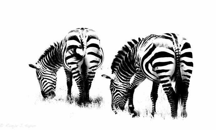 Hungary Zebras by Runjiv J. Kapur, Image Photograph, Digital Print on Canvas, White color