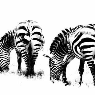Hungary Zebras by Runjiv J. Kapur, Image Photograph, Digital Print on Canvas, White color