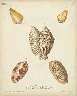 Antique Knorr Shells III Digital Print by Knorr,Realism