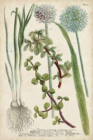 Allium Digital Print by Weinmann,Decorative