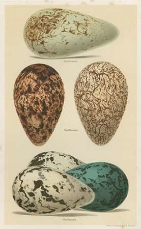 Antique Bird Egg Study I Digital Print by Seehohm, Henry,Realism