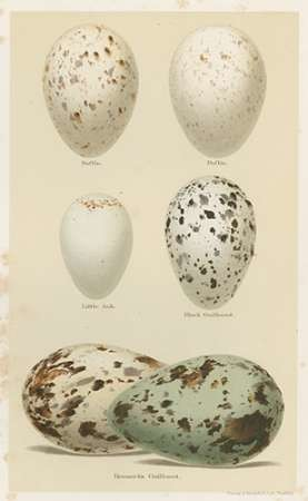 Antique Bird Egg Study II Digital Print by Seehohm, Henry,Realism