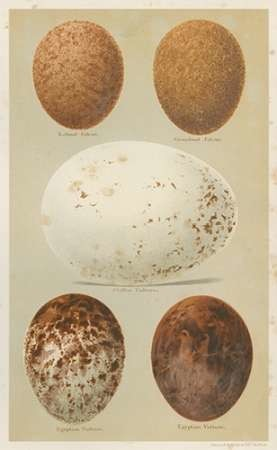 Antique Bird Egg Study III Digital Print by Seehohm, Henry,Realism