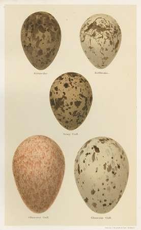Antique Bird Egg Study IV Digital Print by Seehohm, Henry,Realism