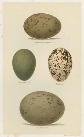 Antique Bird Egg Study V Digital Print by Seehohm, Henry,Realism