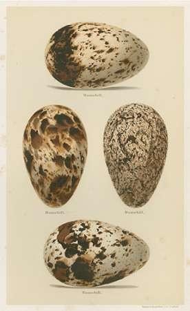 Antique Bird Egg Study VI Digital Print by Seehohm, Henry,Realism