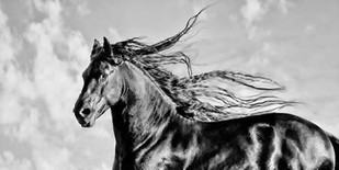Wind Blown Mane IV Digital Print by PHBurchett,Realism