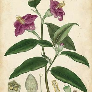 Antique Hibiscus Digital Print by Andrews, Henry,Decorative