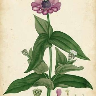 Antique Zinnia Digital Print by Andrews, Henry,Decorative