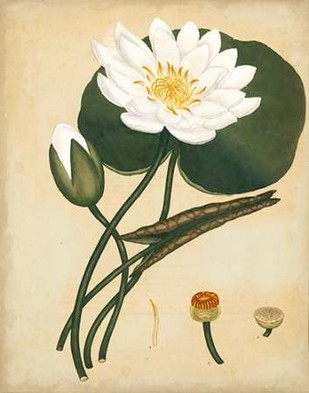 White Water Lily Digital Print by Andrews, Henry,Decorative