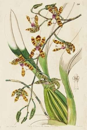 Spring Orchid II Digital Print by Ridgeway,Decorative