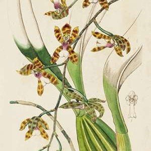 Spring Orchid II Digital Print by Ridgeway,Decorative
