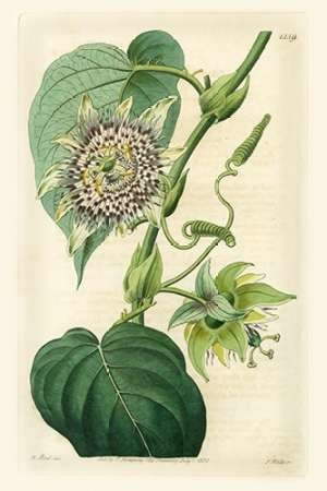 Antique Passionflower I Digital Print by Hart, M.,Realism