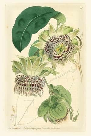 Antique Passionflower II Digital Print by Hart, M.,Realism