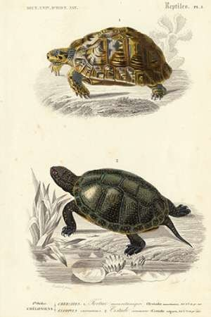 Antique Turtle Duo II Digital Print by Oudart,Realism