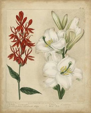 Scarlet Beauty I Digital Print by Edwards, Sydenham,Decorative