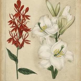Scarlet Beauty I Digital Print by Edwards, Sydenham,Decorative