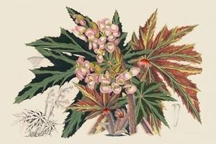 Begonia Varieties I Digital Print by Stroobant,Decorative