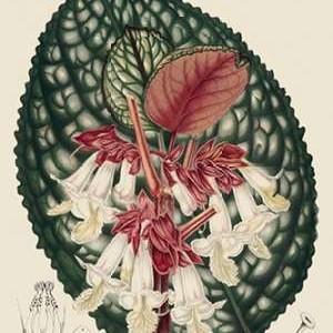 Begonia Varieties III Digital Print by Stroobant,Decorative