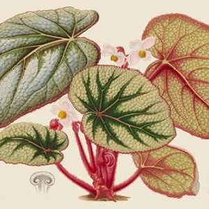 Begonia Varieties IV Digital Print by Stroobant,Decorative