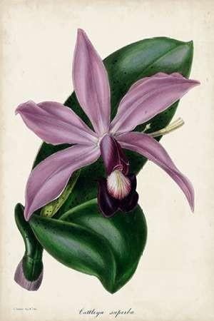Plum Orchid Digital Print by Paxton,Decorative