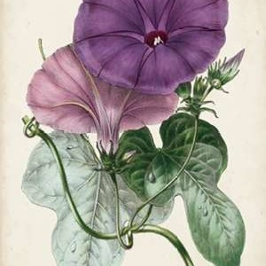 Plum Morning Glory Digital Print by Paxton,Decorative