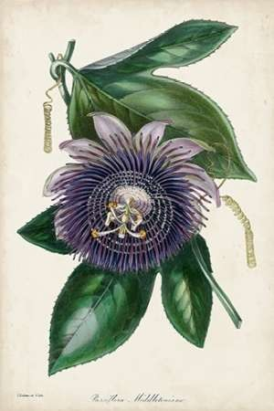 Plum Passion Flower Digital Print by Paxton,Decorative