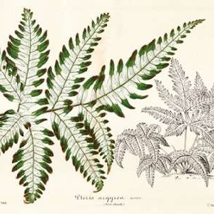 Fern Leaf Foliage II Digital Print by Stroobant,Decorative