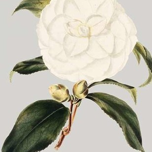 Camellia Japonica I Digital Print by Vision Studio,Decorative