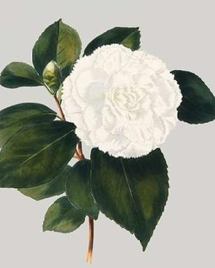 Camellia Japonica II Digital Print by Vision Studio,Decorative