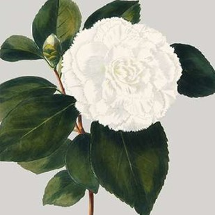 Camellia Japonica II Digital Print by Vision Studio,Decorative