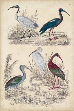 Ibis Family Digital Print by Milne,Decorative