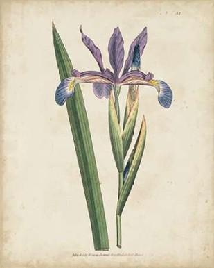 Lavender Curtis Botanicals III Digital Print by Curtis,Impressionism