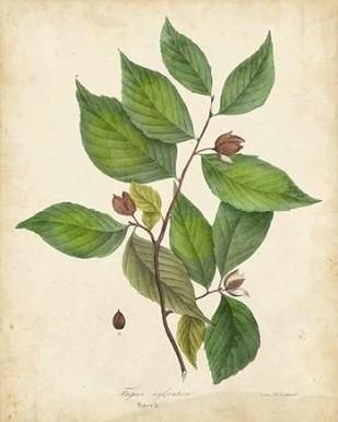 Beech Tree Foliage Digital Print by Torrey, John,Decorative