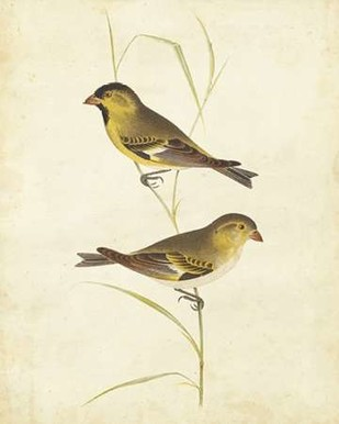Goldfinch Digital Print by Cassin,Impressionism