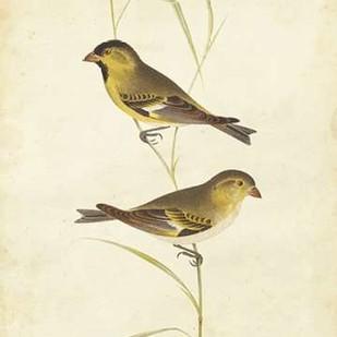 Goldfinch Digital Print by Cassin,Impressionism