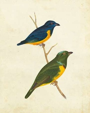 Peruvian Tanager I Digital Print by Cassin,Impressionism