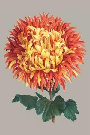 Chrysanthemum on Gray I Digital Print by Vision Studio,Decorative