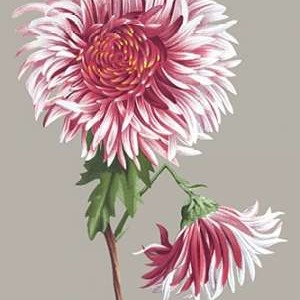 Chrysanthemum on Gray III Digital Print by Vision Studio,Decorative