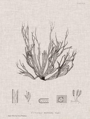 Charcoal & Linen Seaweed I Digital Print by Bradbury, Henry,Decorative