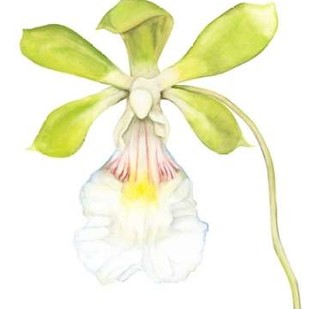 Orchid Beauty I Digital Print by Goldberger, Jennifer,Decorative