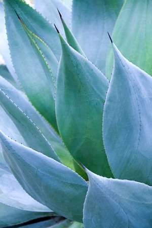 Agave I Digital Print by Schrack, Thea,Realism