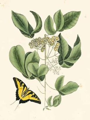 Non-Embellished Catesby Butterfly and Botanical II Digital Print by Catesby, Mark,Decorative