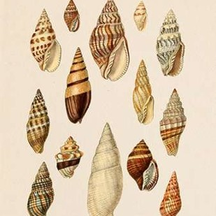 Cone Shell Display II Digital Print by Goldberger, Jennifer,Decorative