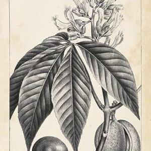 Vintage Buckeye Tree Digital Print by Nuttall, Thomas,Illustration